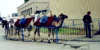 czech-camels-in-straznice