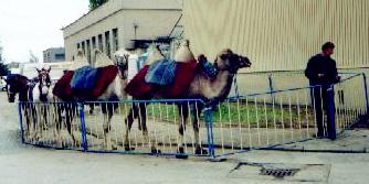 czech-camels-in-straznice